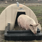 Farrowing Hut in Action