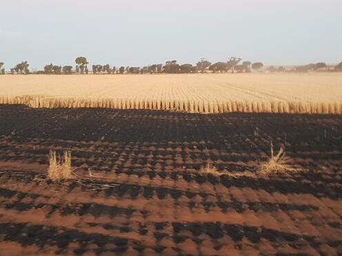 burnt crops at a fire in wheatbelt