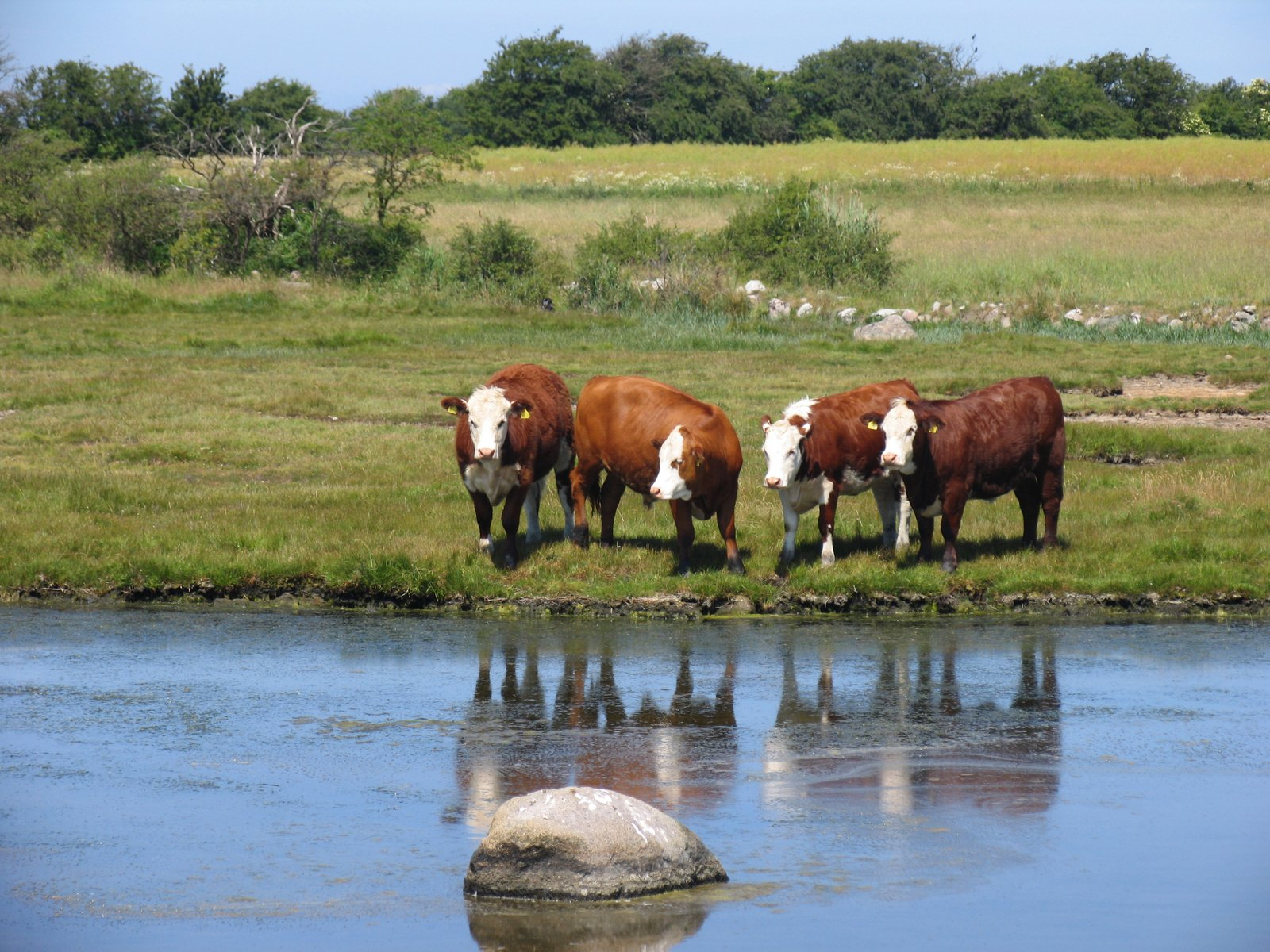 cows beside a body of water-1