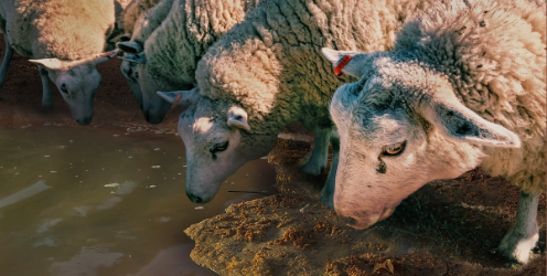 livestock sheep drinking dirty water - Coerco Livestock Troughs